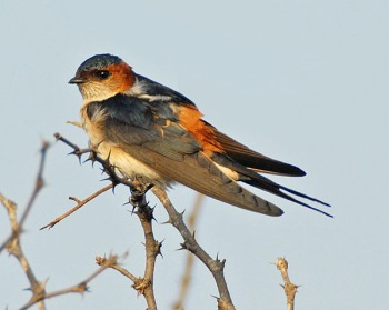Red-rumped Swallow (Cecropis daurica) by Nikhil Devasar