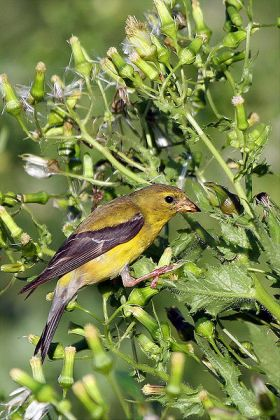 American Goldfinch (Carduelis tristis) Female ©WikiC
