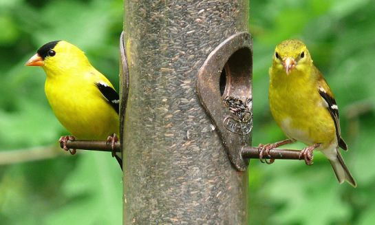 American Goldfinch (Carduelis tristis) Male and Female ©WikiC