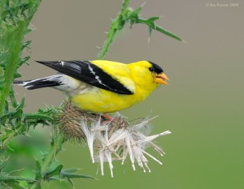 American Goldfinch (Carduelis tristis) on Thistle by Fenton