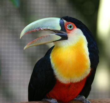 Green-billed Toucan (Ramphastos dicolorus) ©WikiC