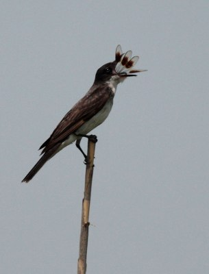 Eastern Kingbird (Tyrannus tyrannus) by Margaret Sloan Eating