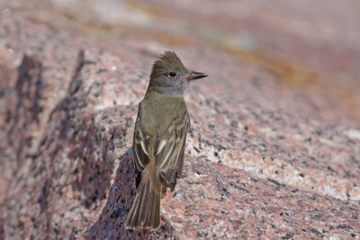 Great Crested Flycatcher (Myiarchus crinitus) by Margaret Sloan