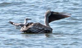Brown Pelican with fish and Laughing Gull