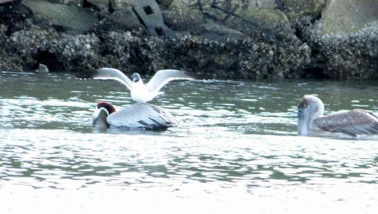 Laughing Gull landing on Brown Pelican