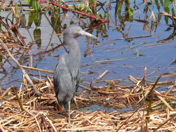 Little Blue Heron at Lake Hollingsworth