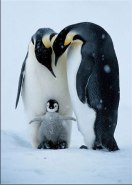 Penguin with young of feet