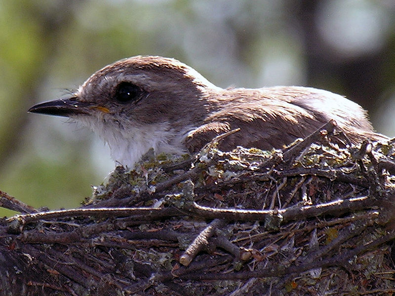 Vermilion Flycatcher (Pyrocephalus rubinus) Female on nest ©WikiC
