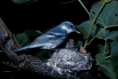 Cerulean Warbler (Setophaga cerulea) at nest ©L Walkinshaw