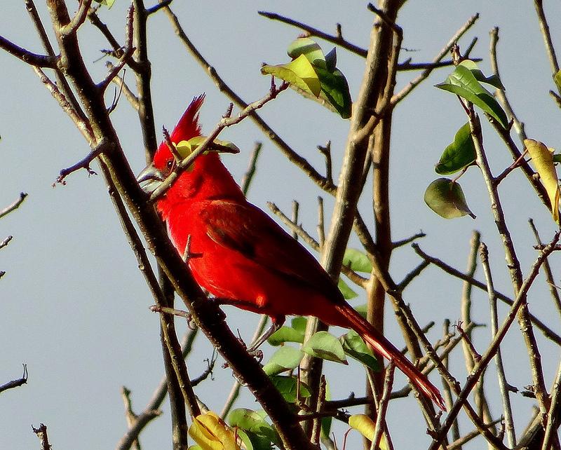 Vermilion Cardinal (Cardinalis phoeniceus) ©Flickr barloventomagico