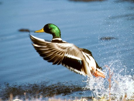 Mallard-Takes-Off ©Flyways USFWS