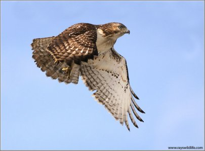 Red-tailed Hawk by Ray