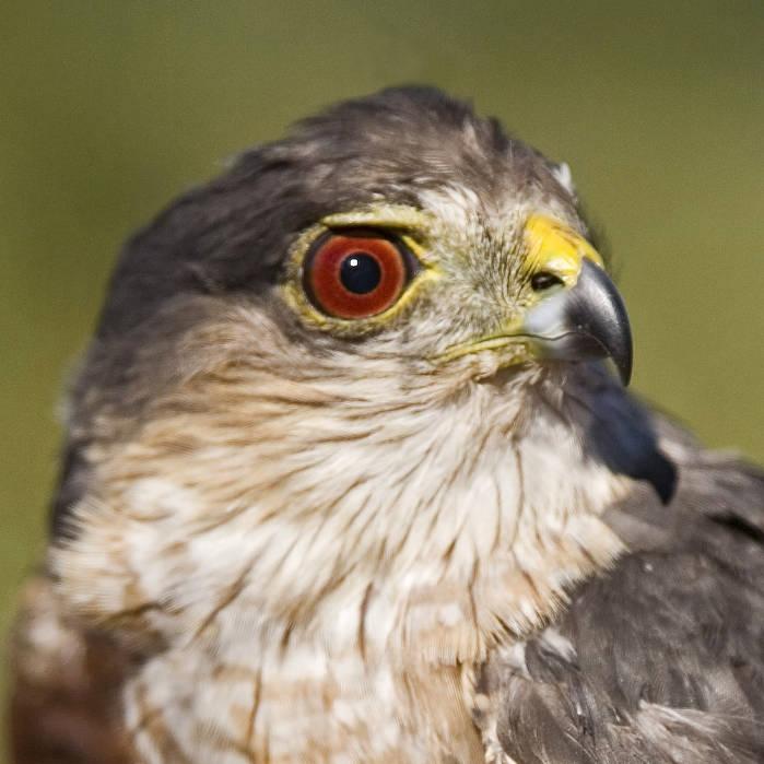 Sharp-shinned Hawk (Accipiter striatus) ©USFWS