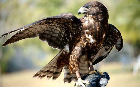 Short-tailed Hawk (Buteo brachyurus) ©WikiC