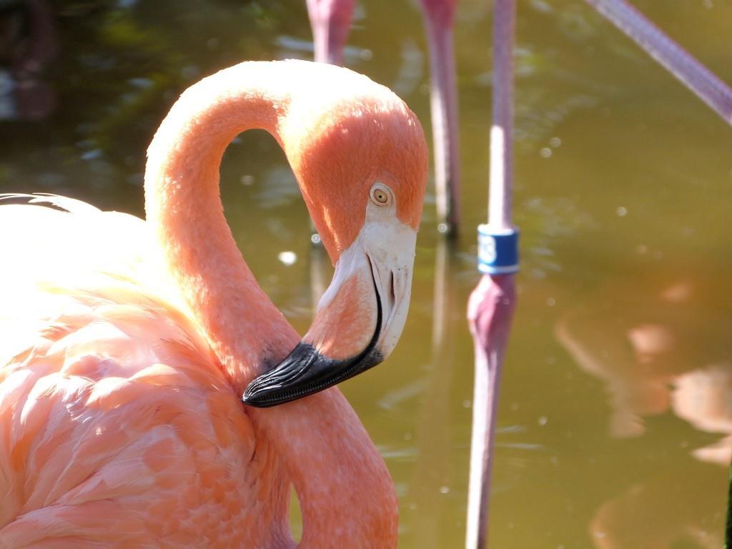 American Flamingo Beak at Gatorland by Lee