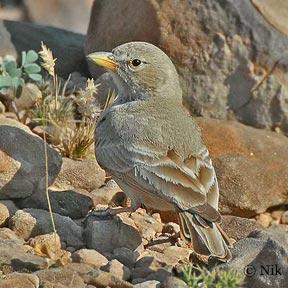 Desert Lark (Ammomanes deserti) by Nikhil Devasar