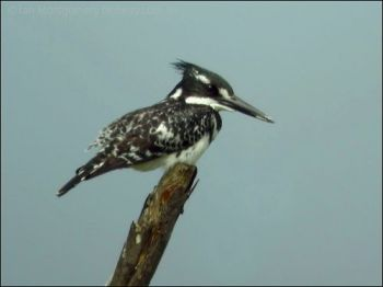 Pied Kingfisher (Ceryle rudis) by Ian