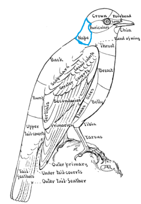 Topography of a Bird - Bluebird - Color Key to NA Birds - Nape