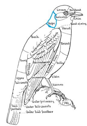 Topography of a Bird - Bluebird - Color Key to NA Birds - Nape