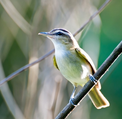 Red-eyed Vireo (Vireo olivaceus) by Dario Sanches