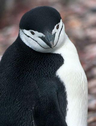 Chinstrap Penguin (Pygoscelis antarcticus) ©WikiC