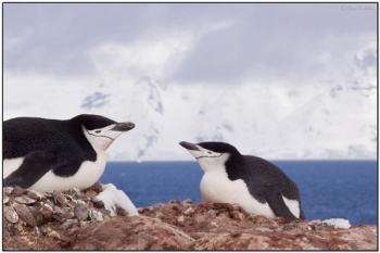 Chinstrap Penguins (Orne Island)