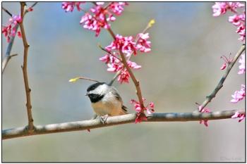 Carolina Chickadee (Poecile carolinensis) by Daves BirdingPix