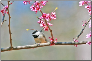 Carolina Chickadee (Poecile carolinensis) by Daves BirdingPix