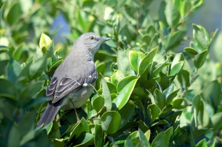 Northern Mockingbird (Mimus polyglottos) By Dan'sPix