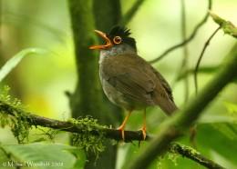 Christmas Hymns With Birds – Carol of theBirds