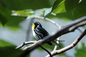 Yellow-throated Warbler (Dendroica dominica) by Bob-Nan