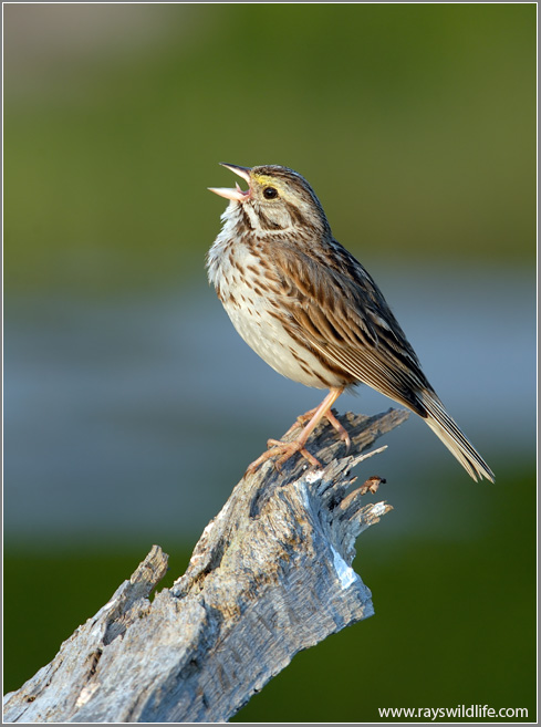 Savannah Sparrow Fifty Point-Canada by Ray Barlow