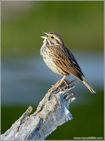 Savannah Sparrow Fifty Point-Canada by Ray Barlow