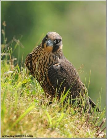 Peregrine Falcon by Ray