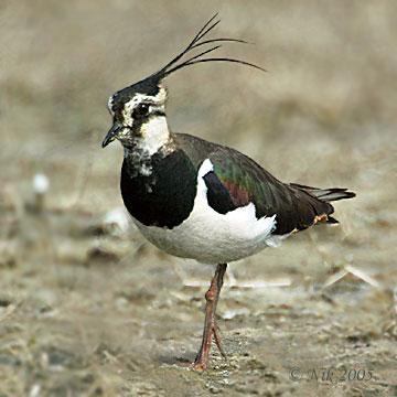 Northern Lapwing (Vanellus vanellus) by Nikhil Devasar
