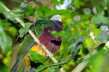 Wompoo Fruit Dove (Ptilinopus magnificus) by Dan at National Aviary