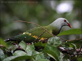 Wompoo Fruit Dove (Ptilinopus magnificus) by Ian