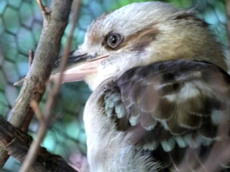 Laughing Kookaburra (Dacelo novaeguineae) at Cincinnati Zoo