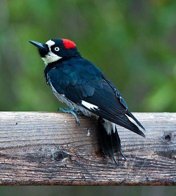 Acorn Woodpecker (Melanerpes formicivorus) Female ©WikiC