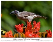 Silver-crowned Friarbird (Philemon argenticeps) by Ian at Birdway