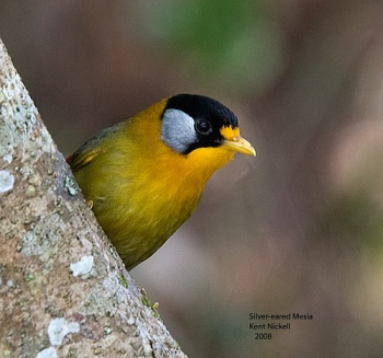 Silver-eared Laughingthrush (Trochalopteron melanostigma) by Kent Nickell