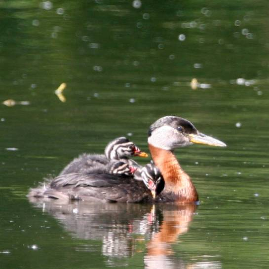 Red-necked Grebe (Podiceps grisegena) young on her wing©USFWS