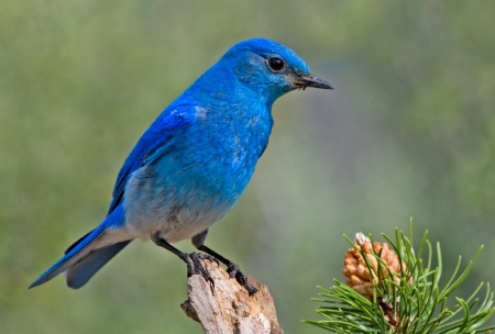 Mountain Bluebird (Sialia currucoides) ©©Bing