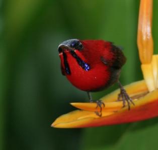 Crimson Sunbird (Aethopyga siparaja) by Peter Ericsson