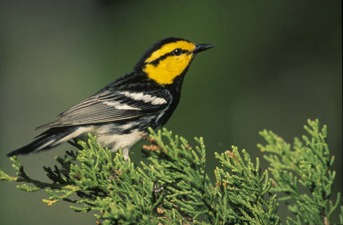 Golden-cheeked Warbler (Dendroica chrysoparia) ©USFWS