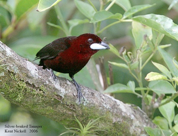 Silver-beaked Tanager (Ramphocelus carbo) by Kent Nickell