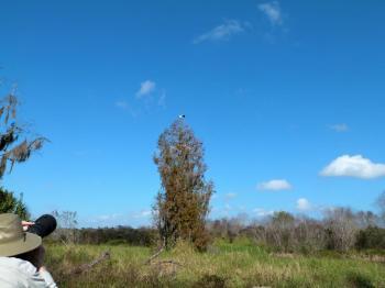 Wood Stork (Mycteria americana) by Lee Landing