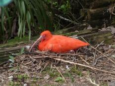 Scarlet Ibis (Eudocimus ruber) by Lee