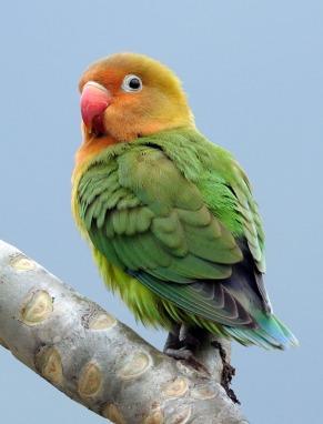 73 Fischer's Lovebird (Agapornis fischeri) by W Kwong