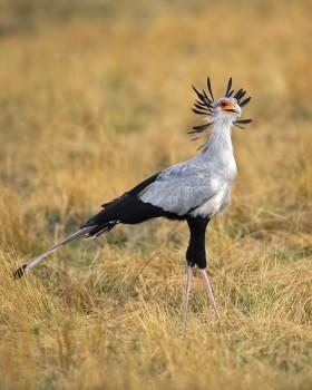 Secretarybird (Sagittarius serpentarius) by Africaddict